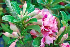 Azalea Flowers in the garden. Beautiful natural royalty free stock images