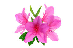 Azalea flowers Royalty Free Stock Photography