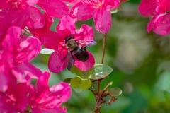 Azalea Flowers och en honungsbi arkivfoto
