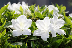 Azalea flowers Stock Images