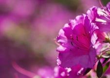 Azalea flowers Stock Photo