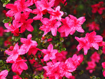 Azalea flowers (Rhododendron pentanthera) in early spring with m. Orning dew Royalty Free Stock Photography