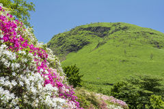 Azalea flowers on slopes Stock Photo