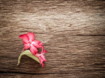 Azalea flowers on texture of bark wood use as natural background Stock Photography