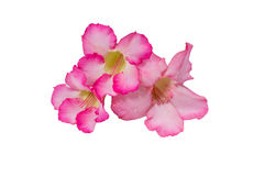 Azalea flowers. To create a beautiful Stock Image