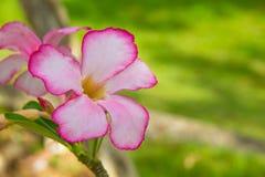 Azalea flowers. Royalty Free Stock Image