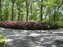 Azalea Forest. White and Pink Azaleas in the garden Royalty Free Stock Photo