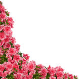 Azalea frame. Royalty Free Stock Photos