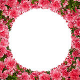 Azalea frame. Royalty Free Stock Photo
