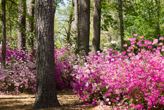 Azalea Garden Royalty Free Stock Photo