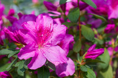 Azalea in garden. Royalty Free Stock Image