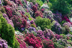 Azalea garden in italy. Colorful azalea garden in italy Royalty Free Stock Images