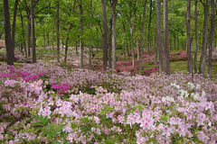 Azalea gardens in full bloom Royalty Free Stock Images