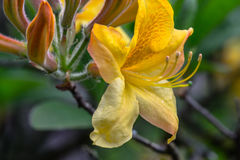 Azalea gialla fotografia stock