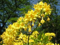 Azalea gialla nel giardino botanico in primavera fotografie stock