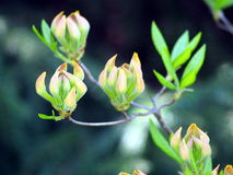 Azalea green, yellow and pink buds Royalty Free Stock Photography