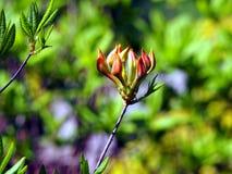 Azalea green, yellow and pink buds Royalty Free Stock Photo