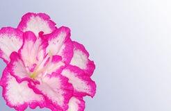 Azalea grey card Stock Image