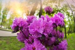 Azalea hermosa en los flores de la primavera Fotografía de archivo