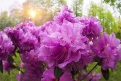 Azalea hermosa en los flores de la primavera Fotografía de archivo libre de regalías