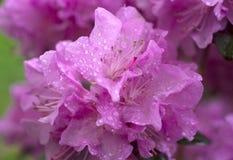 Azalea hermosa en los flores de la primavera Foto de archivo
