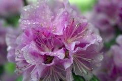 Azalea hermosa en los flores de la primavera Foto de archivo libre de regalías