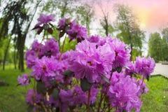 Azalea hermosa en los flores de la primavera Imagenes de archivo