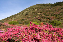 Azalea and hill. Brilliant pink azalea flower field in front of hill under sky royalty free stock photography