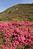 Azalea and hill Stock Images