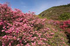 Azalea and hill Stock Photo