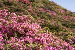 Azalea and hillside. Pale pink azalea flower field in front of hillside Stock Photos