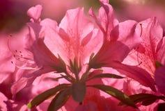 azalea hiroshima Royaltyfri Bild