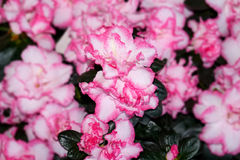 Azalea indica, pink and white Stock Images