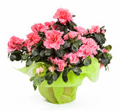 Azalea isolated Stock Image