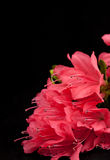 Azalea Isolated Stock Photography
