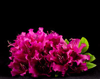 Azalea Isolated. A grouping of Azalea isolated on black with a high saturation and highlights Royalty Free Stock Image