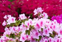 Azalea japonesa rosada Imagenes de archivo