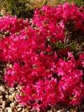Azalea japonesa rosada Fotos de archivo libres de regalías