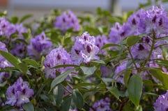 Azalea Japonica Azul Jay Blanco Purpura Manchado De Flores En Flor Bellas Ramas De Plantas Floridas Imagen De Archivo Imagen De Azul Azalea 179907685