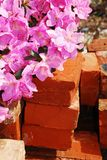 Azalea Kirin with Background Bricks Royalty Free Stock Photo