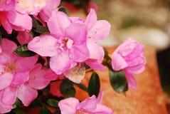 Azalea Kirin rosa Fotografia Stock Libera da Diritti