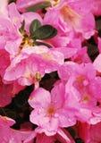 Azalea Kirin rosada Imagen de archivo