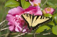 azalea kwiat Zdjęcie Stock