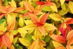 Azalea leafs in Spring - background Stock Images