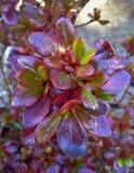 Azalea Leaves Fotos de Stock Royalty Free