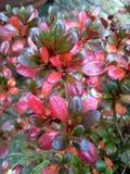 Azalea Leaves cor-de-rosa Imagens de Stock Royalty Free
