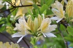 Azalea Lemon Flower Blossoms im Baum lizenzfreie stockfotografie