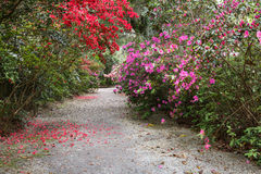 Azalea Lined Walkway South Carolina Royalty Free Stock Photo
