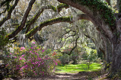 Charleston South Carolina Azalea Live Oaks Spring Landscape Stock Photos
