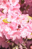 Azalea Macro. Macro of azalea in spring Royalty Free Stock Photos